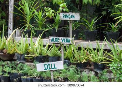 Herbs growing in pots in a garden. Aloe Vera, Pandan, Dill signs.