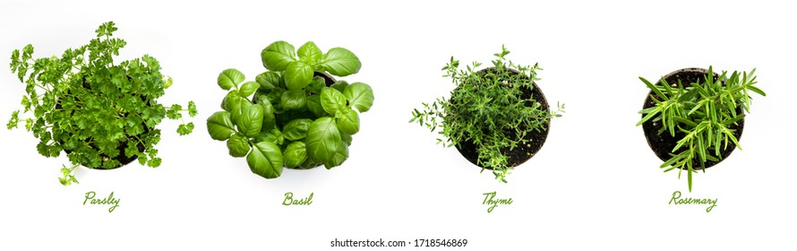 Herbs, Parsley, Basil, Thyme and Rosemary on White Background.