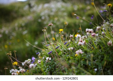 Herbs and Plants on an Alpine Meadow in summer