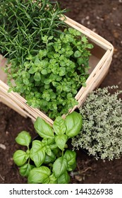 Herbs prepared for planting. Rosemary, oregano, thyme and basil.