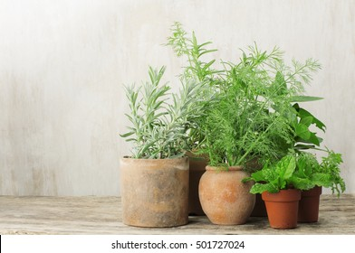 herbs in small terracotta pots