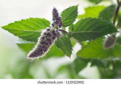 Herbs Swiss Mint Menthe x piperita Swiss