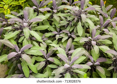Herbs used in the kitchen: Sage (Salvia officinalis Purpurascens). The concept of healthy balanced meals.