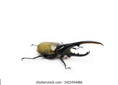 Hercules beetle  (Dynastes hercules, Dynastinae)  isolated on white.