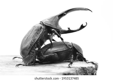 Hercules Ricky beetle in South America