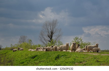 A herd of sheep�s
