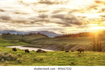 Herd of adult and baby buffaloes (bison bison) at sunset time. Yellowstone National Park, Wyoming, USA