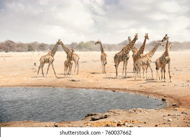 Herd of adult and young giraffes gather at a watering hole in National Park in Namibia, Africa.