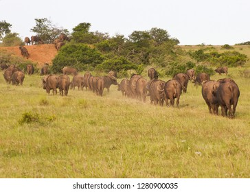 Herd of African Buffalo walking  on a narrow path towards a water hole in single file