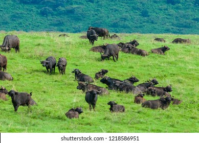 Herd of African buffalos (Syncerus caffer) in Ngorongoro Conservation Area, Tanzania