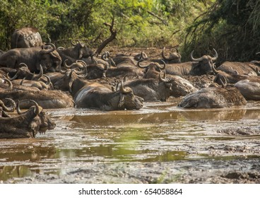 A herd of african buffolos lying in the mud at the Hluhluwe iMfolozi Park in South Africa