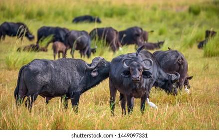 Herd of African cape buffalos grazing in Chobe National Park near the Chobe river in Botswana
