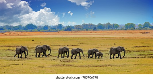 Herd of african Elephants (Africana Loxodonta) walking cross the vast open plains in South Luangwa National Park, southern Africa,