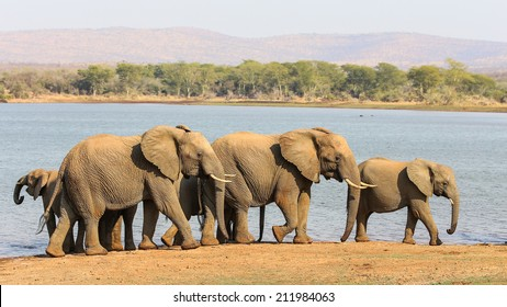 Herd of African elephants on the move with red sand and fever trees
