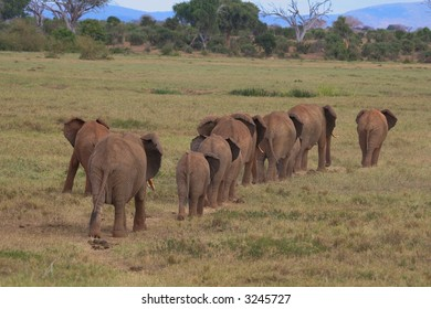 Herd of African elephants on the move