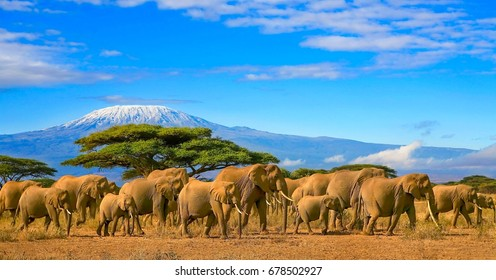 Herd of african elephants on a safari trip to Kenya and a snow capped Kilimanjaro mountain in Tanzania in the background, under a cloudy blue skies.