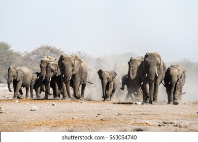A herd of african elephants walking in Etosha national park. Namibia, Africa.