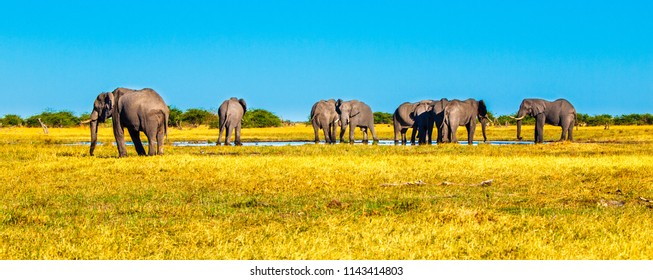 Herd of african elephants at waterhole. Chobe National Park, Okavango Region, Botswana, Africa. Panorama image.
