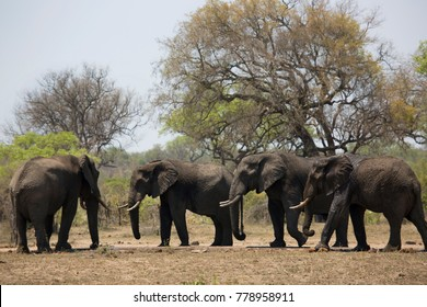 herd of african savanna elephants drinking from almost dried up waterhole under big tree