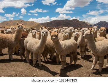 Herd of Alpacas Grazing in Peru, near Cusco in the Andes Mountains