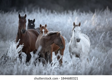 Herd Of Altai Free Grazing Adult Horses Of Various Colors And A Foal In An Autumn Morning Among The Grass In Snow-White Hoarfrost. Great Siberian Horse In The Pasture. West Siberia, Altai Mountains.