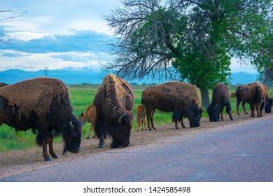 Herd of American Bison Buffalo by a road during the day