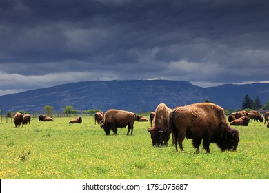 Herd of American Bison (Bison Bison) or Buffalo with cloud covered mountain range in the background