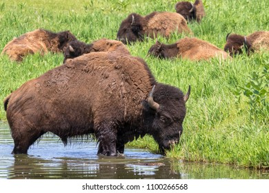 A herd of American bison (Bison bison) grazing near a lake, Iowa, USA.