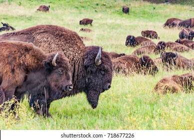 Herd of American bison. Group of buffalo lying on the green meadow. Prairie landscape