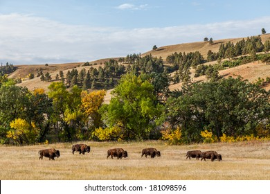 a herd of American buffalo grazing in Custer State Park, South Dakota, USA