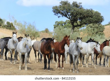 A herd of andalusian horses relaxing outside