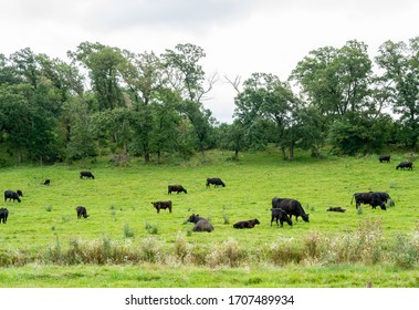 A Herd of Angus Beef Cattle grazing peacefully in a green pasture.on a cloudy day in Minnesota