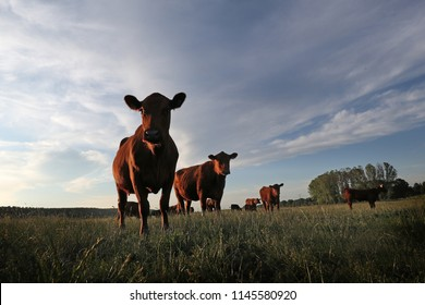 a herd of angus cattle in the evening sun on a cow pasture looking into the camera, wide angel