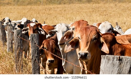 Herd of animals in Australia, brown cow and grey brahman cows line up along an old barb wire farm fence on an australian beef cattle ranch
