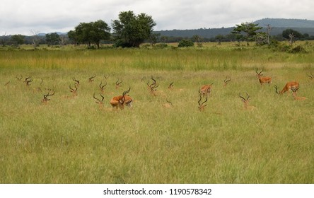a herd of antelope