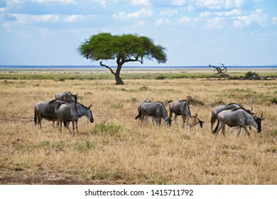 Herd of antelopes gnu and alone tree. Springtime in Africa. Horizontal shot
