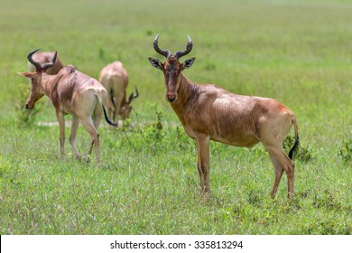 A herd of antelopes grazing on a green meadow - Kenya, East Africa