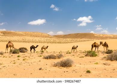 Herd of Arabian camels with foals in the desert, Morocco