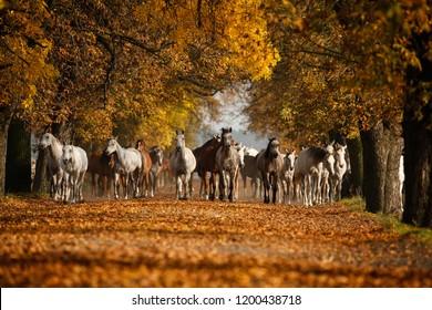 Herd of arabian horses on the autumn village road