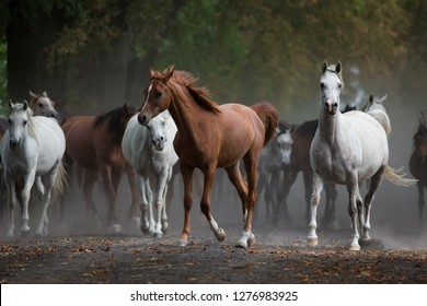 Herd arabian horses on the dusty village road