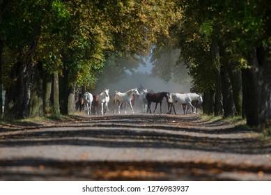 Herd arabian horses on the dusty village road