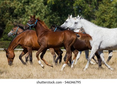 Herd of arabian horses on the pasture
