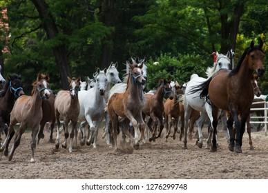 Herd of arabian horses on the village road