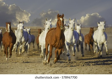 Herd of Arabian horses running. Horse power. Leader.