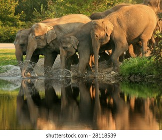 A herd of Asian elephants (Elephas maximusswim) takes a late afternoon swim