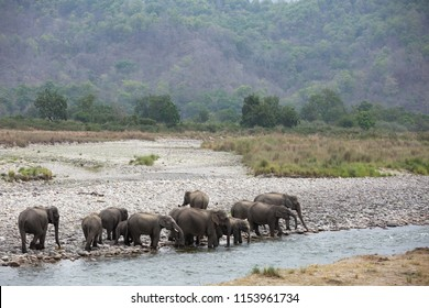 A herd of Asiatic elephants crossing Ram Ganga river, Wildlife National Tiger Reserve, India