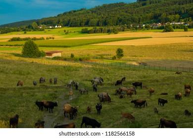 Herd of aurochses