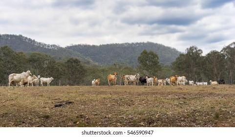 Herd of Australian beef cattle on a farm in rural Queensland