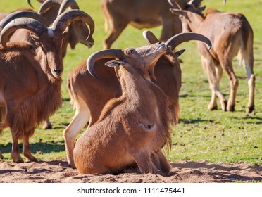A herd of Barabry Sheep, with one sitting down