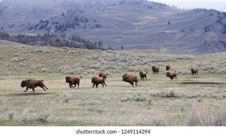 Herd of Bison / Buffalo running across the plains on the Theodore Roosevelt National Park in the North Dakota Badlands